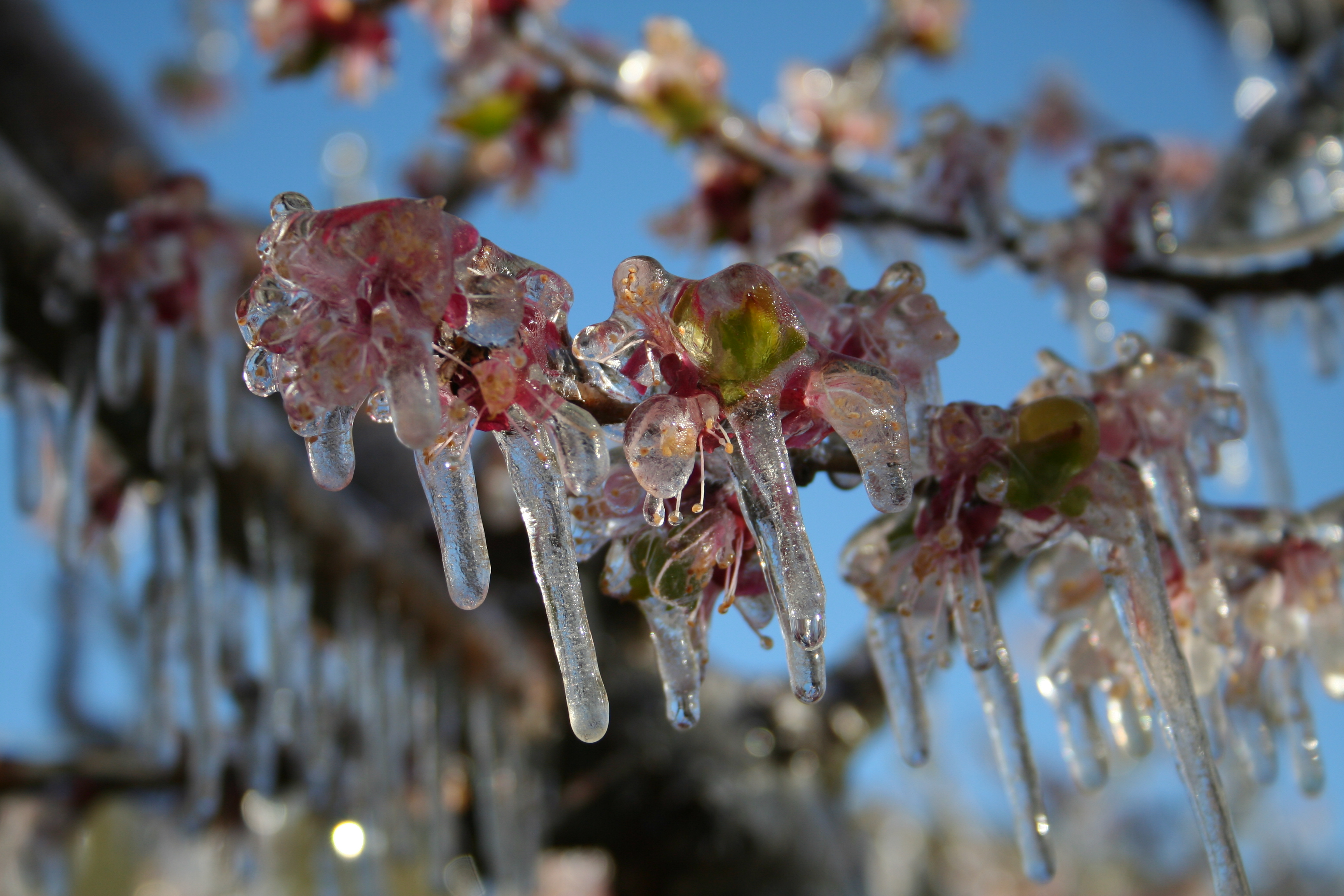frost on apricot blossoms