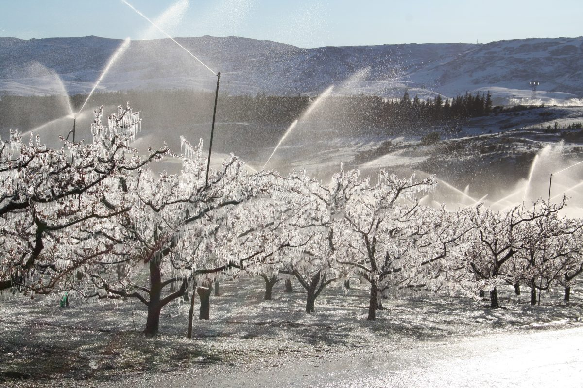 Frost fighting apricot blossoms