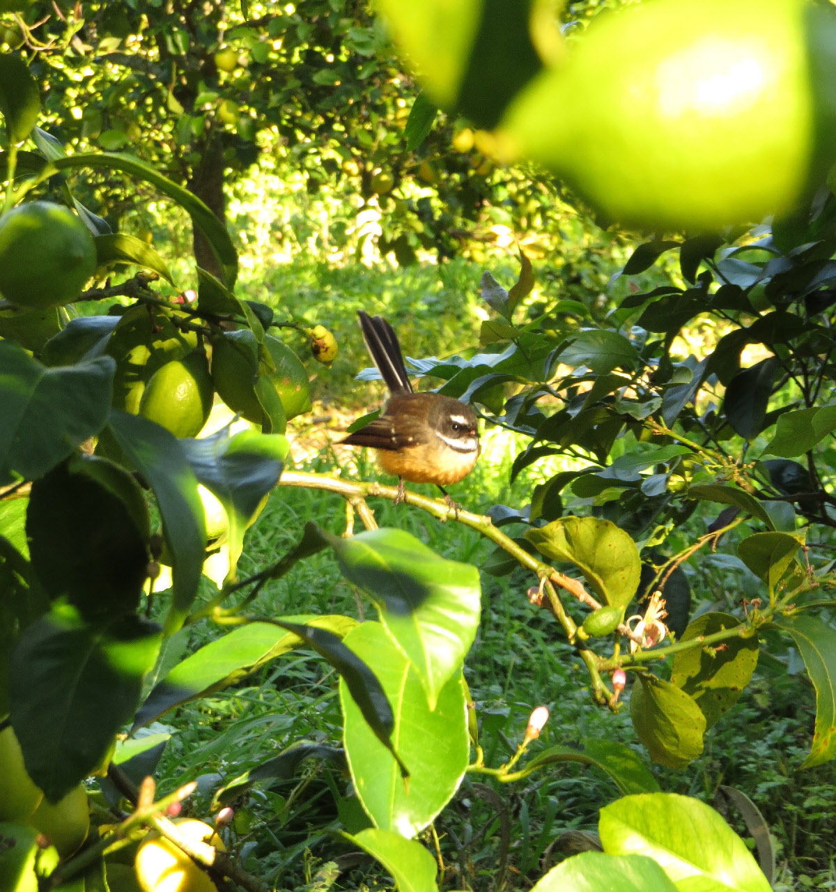 fantail in the orchard